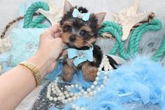 Some of the Tiniest, Most Beautiful Teacup Yorkie Puppies in the World! Teacup Yorkie and Small Toy Yorkies for Sale. Micro Yorkies, Micro Teacup Yorkie, Teacup Yorkie For Sale, Teacup Chihuahua Puppies, Yorkies For Sale, Yorkie Puppy For Sale, Super Cute Puppies, Cute Dogs And Puppies, Puppies For Sale