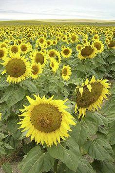 Sunflowers, Saskatchewan | by ccpoirier, via Flickr