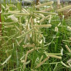 Blue Grama Grass Bouteloua gracilis Blonde Ambition from Growing Colors Ambition, Herbs, Courtyard Ideas, Garden, Plants, Grasses, Blue, Outdoor, Butterfly