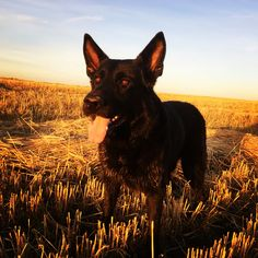 The Black Dog, a European born German Shepard, poses for a spectacular Autumn sunset on the prairies. Black Dogs Breeds, Dog Breeds, Black Shepherd, Dogs Of The World, Working Dogs, Dog Stuff, Animals And Pets, Cute Dogs, Labrador Retriever