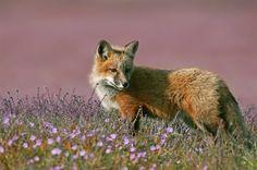 Young Red Fox stock photo (c) jeffmcgraw ( Fox Stock, Friendly Fox, Happy Fox, Fantastic Fox, Fox Hunting, Like A Cat, Cute Fox, Save Animals, Red Fox