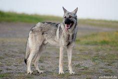saarloos wolfhound - Google Search Nebraska, Husky, Wolf Hybrid, Saarloos, Google Search, Animals, Wolfhound Puppies, Irish Wolfhound, Wolf Dogs