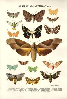 AUSTRALIAN MOTHS insect Print  Nature Wall by VintageInclination