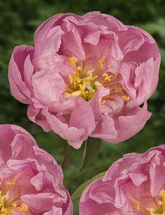 peony. pink crescendo. love the color.