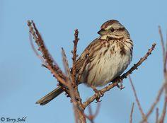 <b>Song Sparrow</b> - Melospiza melodia