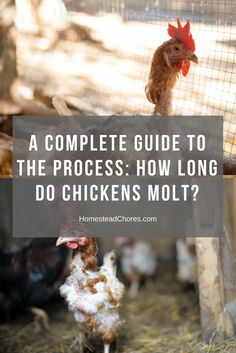 how-long-do-chickens-molt-pin
