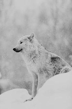 Snowing. Wolf, nature, wild,