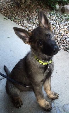 Wicked Training Your German Shepherd Dog Ideas. Mind Blowing Training Your German Shepherd Dog Ideas. Berger Malinois, Malinois Puppies, Gsd Puppies, Belgian Malinois, Cute Dogs Breeds, Dog Breeds, English Dogs, German Shepherd Puppies, German Shepherds
