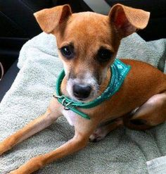 ***7/9/14 STILL LISTED PETFINDER***TACO Chihuahua Mix • Adult • Male • Small Montgomery County Animal Shelter Conroe, TX