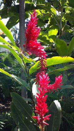 Found growing in Fort DeRussy Park, Waikiki, Honolulu, Hawaii