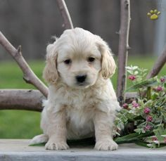 Oliver - Cockapoo Puppy for Sale in Parkesburg, PA | Lancaster Puppies
