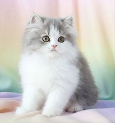 Blue Chinchilla Golden Teacup Persian Kitten, Doll Face…