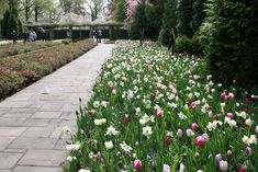50 Tulpenzwiebeln wei/ß//lila//schwarz gemischt Blumenzwiebeln
