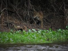 AMAZING NEW WILDLIFE WATCHING EXPERIENCE IN BOLIVIA SAN MIGUELITO/PANTANAL ULTIMATE WILDIFE WATCHING PACKAGE Our latest Bolivian Wi...