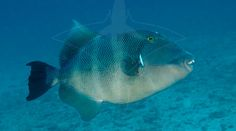 Stone Triggerfish or Blunthead Triggerfish