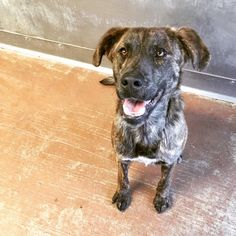"""A darling brindle shepherd mix puppy was adopted from the Victor Valley Animal Protective League(VVAPL) in Apple Valley, California, when he was just three months of age. The pup, named """"Jax,"""" had it good for a short while – but everything was turned upside down when his new family moved and he was not included …"""
