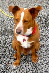 --Duff is an adoptable Australian Shepherd Dog in Spring Lake, NJ. Hi, I'm Duff,�I am not only very handsome, but super smart!��My owner and I were displaced from that big Sandy storm and he cannot ke...