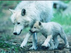 Characteristic: Reproduce   Wolf with her pup