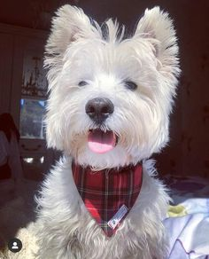 4 sizes available. Can be sell separate or as a set with collar, bow, leash West Terrier, Scooby Doo Dog, Bandana Bow, Disney Dogs, Scottish Tartans, Nice To Meet, Dog Coats, Dog Accessories, My Sunshine