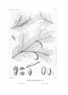 94964 Torreya taxifolia Arn. [as Tumion taxifolium (Arn.) Greene]  / Sargent, C.S., The Silva of North America, vol. 10: t. 512 (1898) [C.E. Faxon]