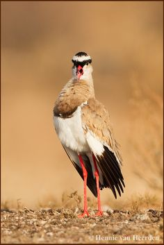 Crowned lapwing or crowned plover (Vanellus coronatus)