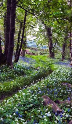 The pretty walk home in Plymouth, Devon, England (bluebells and wild garlic) - photo by Hazel Mansell-Greenwood Beautiful Landscapes, Beautiful Gardens, Beautiful Forest, Beautiful Beautiful, Woodland Garden, Forest Garden, Woodland Flowers, Forest Cottage, Woodland Plants