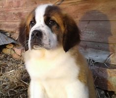 Capone is a Male Saint Bernard puppy for sale at PuppySpot. Call us today to learn more (reference 633199 when you call). St Bernard Puppy, Giant Dog Breeds, Puppies For Sale, Saints, Dogs, Animals, San Bernard Dog, Animales, Animaux