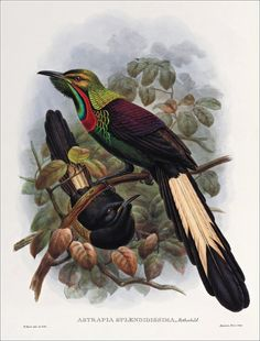 Richard Bowdler Sharpe_ Birds of paradise 53