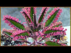 Kalanchoe 'Pink Butterflies' - World of Succulents Unique Plants, Rare Plants, Exotic Plants, Cacti And Succulents, Planting Succulents, Planting Flowers, Mother Of Thousands Plant, Beautiful Gardens, Beautiful Flowers