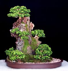 Kingsville Boxwood (Buxus microphylla compacta var. Kingsville) | Height: 24 inches, 60.96 cm
