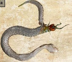 Centipede turned tables on viper that ate it.
