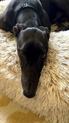 Beautiful Dani is ready for her forever home. Learn more: http://www.galtx.org/hounds/dani2.shtml