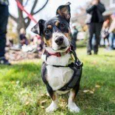 """Madison, """"Borgi"""" (Beagle/Corgi mix; 3 y/o), Dog Fest..."""