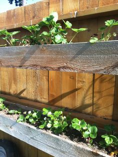 strawberry plants in a box hanging from your fence. Save your back and no more slugs!!