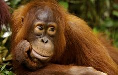 Check your soap, check your shampoo, check everything. Do not give one more cent to the palm oil industry. They were bad enough before they started torching orangutans alive.