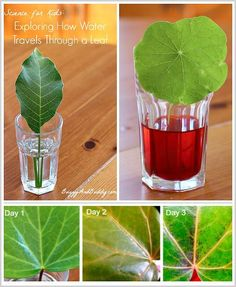 Science (STEM) for Kids: Exploring how water travels through a leaf or leaves (w/ FREE printable recording sheet). Perfect for a plant unit! Science Projects For Kids, Science Activities For Kids, Preschool Science, Science Classroom, Teaching Science, Stem Activities, Life Science, Photosynthesis Activities, Nature Activities