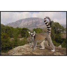 """East Urban Home 'Ring-Tailed Lemur' Framed Photographic Print on Canvas Size: 24"""" H x 36"""" W x 1.5"""" D"""