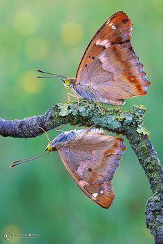 ~~Apatura Ilia Butterflies by MichymonePhoto~~
