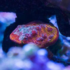 WWC Hot Stuff Chalice #saltwateraquarium #reeftank #livecorals #coral #chalice…