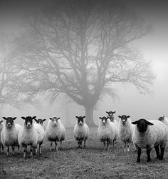 awesome black and white image of sheep
