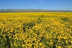 California Superbloom: Hillside Daisies fill the Carrizo Plain and cover the distant mountains April 2 2017 [OC] [6016x4000]