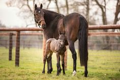 Treve and her first foal