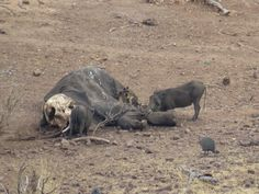 Bird Photos, Birding Sites, Bird Information: WARTHOG FEEDING ON CARCASS OF ELEPHANT, CHOBE NATI...