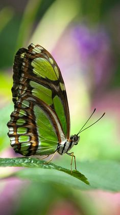 Butterfly iPhone X Wallpaper - Best Wallpaper HD Blue Butterfly Wallpaper, Green Butterfly, Butterfly Watercolor, Beautiful Bugs, Beautiful Butterflies, Simply Beautiful, Rainforest Butterfly, Weird Insects, Robert Plant