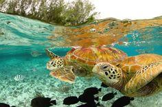 зеленые морские черепахи, Бора-Бора