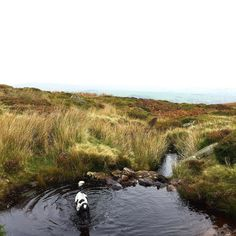 Walking on #ilkleymoor was so much fun today! I'm covered in mud from all the bogs!! #cockerspaniel #bogsarethebest