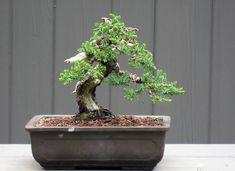 Juniper Bonsai Tree in Japanese Setku Bowl