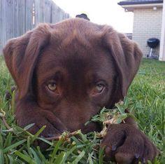 Labrador Retriever – Intelligent and Fun Loving Baby Animals, Funny Animals, Cute Animals, I Love Dogs, Cute Dogs, Big Puppies, Puppy Dog Eyes, Labrador Retriever Dog, Labrador Puppies