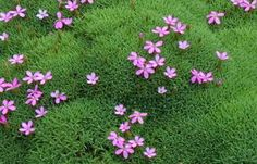 Silene acaulis  Moss Campion Extremely tight creeping perennial that fills in nooks and crannies perfectly. Place in gritty conditions, ignore it and watch it grow. Hot pink flowers in summer are a welcome surprise. Great for dry walkways, rock gardens or retaining walls.This plant needs sharp drainage to succeed. Over watering will impair growth. Very drought tolerant.