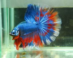 Red white and blue fancy I would call him Steve as in Captain America